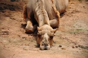 camel-993822_640